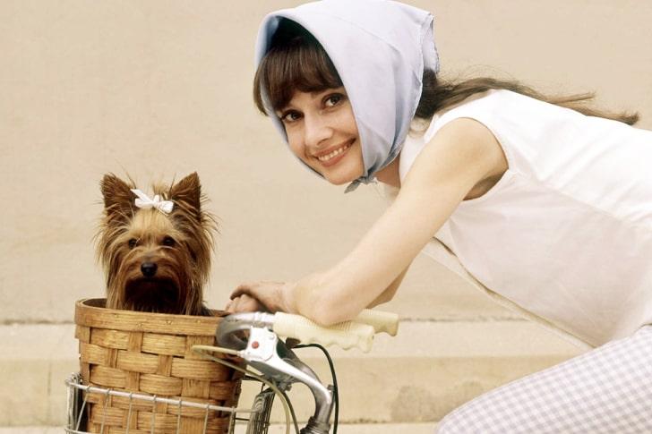 Yorkshire Terrier – Audrey Hepburn's Feisty Charmer